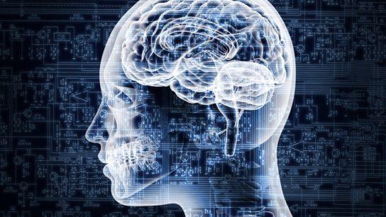 female brain anatomy