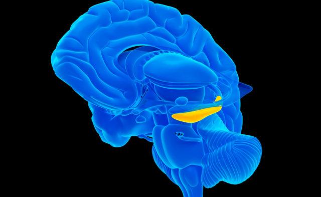 Human brain, hippocampus