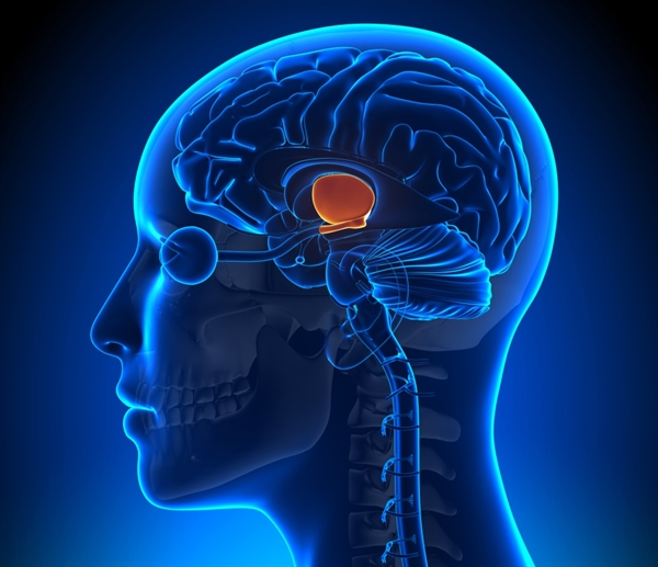 """It has been proposed that migraine may originate in the hypothalamus, which has extensive connections in the central nervous system and helps to maintain homeostasis via control of the endocrine system and coordination of autonomic nervous system activity. Among the many physiologic functions of the hypothalamus, it is involved in trigeminal nociceptive signaling, a type of afferent sensory input that is essential to migraine pain.18 The symptoms commonly reported by migraine patients – impaired sleep, changes in mood and appetite – involve dysfunction of the systems that the hypothalamus helps to regulate. Hypothalamic activation has been observed during migraine in positron emission tomographic and functional magnetic resonance imaging studies, further suggesting a central role for the hypothalamus in migraine pathophysiology.19,20 In addition, the observation that women experience migraines at a 3-fold rate compared to men implicates hypothalamic regulation of hormonal cycles in women as contributing to migraine. Results of several studies suggest that the """"increased incidence of migraine in women may be due in part to the effects of hypothalamic regulation of female hormones such as estradiol on endothelial cells,"""" as described in the Neuroscience review.3"""