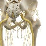 leg bones and nerves