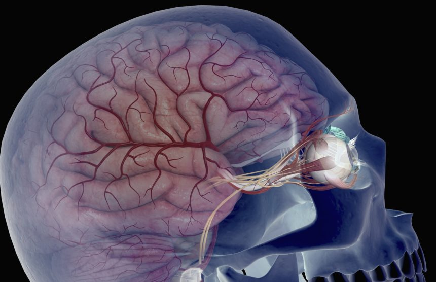 arteries of the brain and eyes