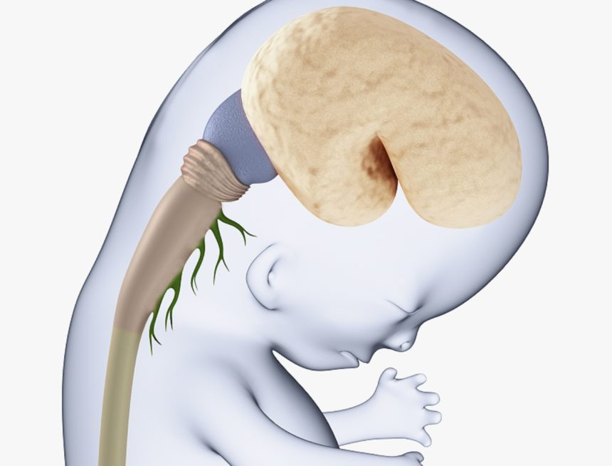 Picture of a fetus' brain